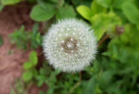 dandelion-21145_960_720