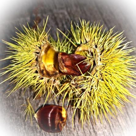 chestnut-1681033_960_720.jpg