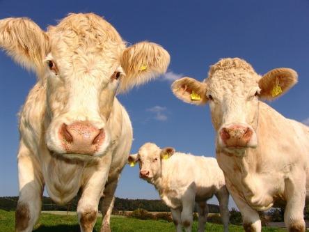 cows-1029077_960_720.jpg