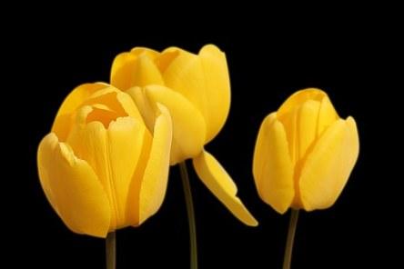 tulips-1364024__340.jpg