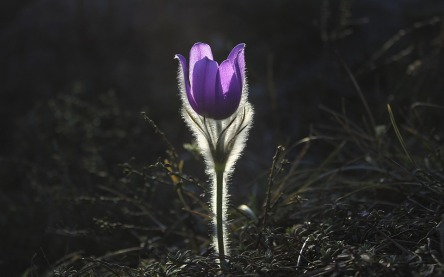 pasqueflower-1585303_960_720.jpg