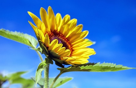 sun-flower-1536088_960_720.jpg