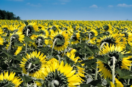 sunflower-175821_960_720.jpg