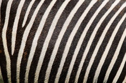zebra-2406868_960_720.jpg