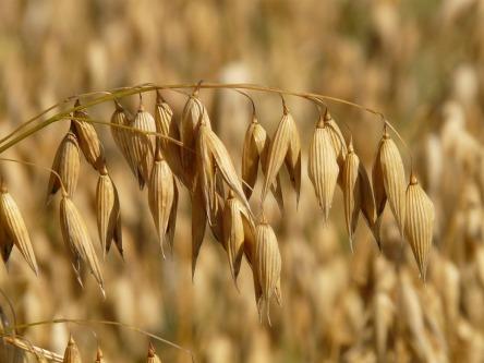 oats-8946_960_720.jpg