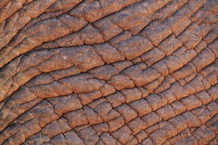 elephant-skin-245071_960_720.jpg