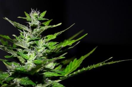 cannabis-2761102_960_720.jpg