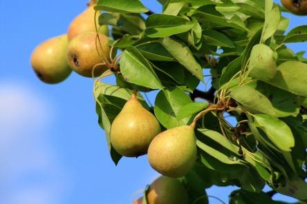 pears-3551584_960_720.jpg