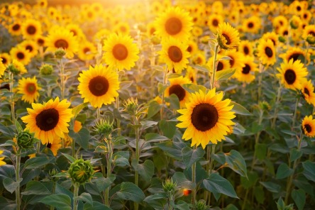 sunflower-3550693_960_720.jpg