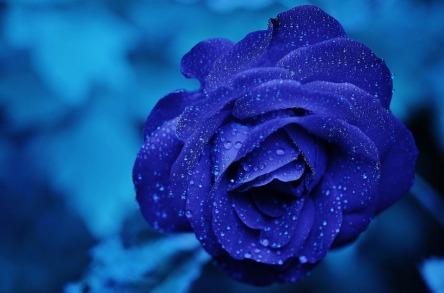 rose-165819_960_720.jpg