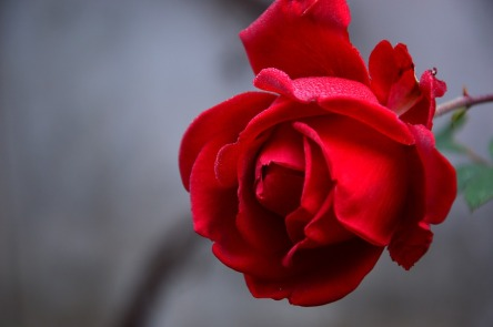 rose-3802424_960_720.jpg