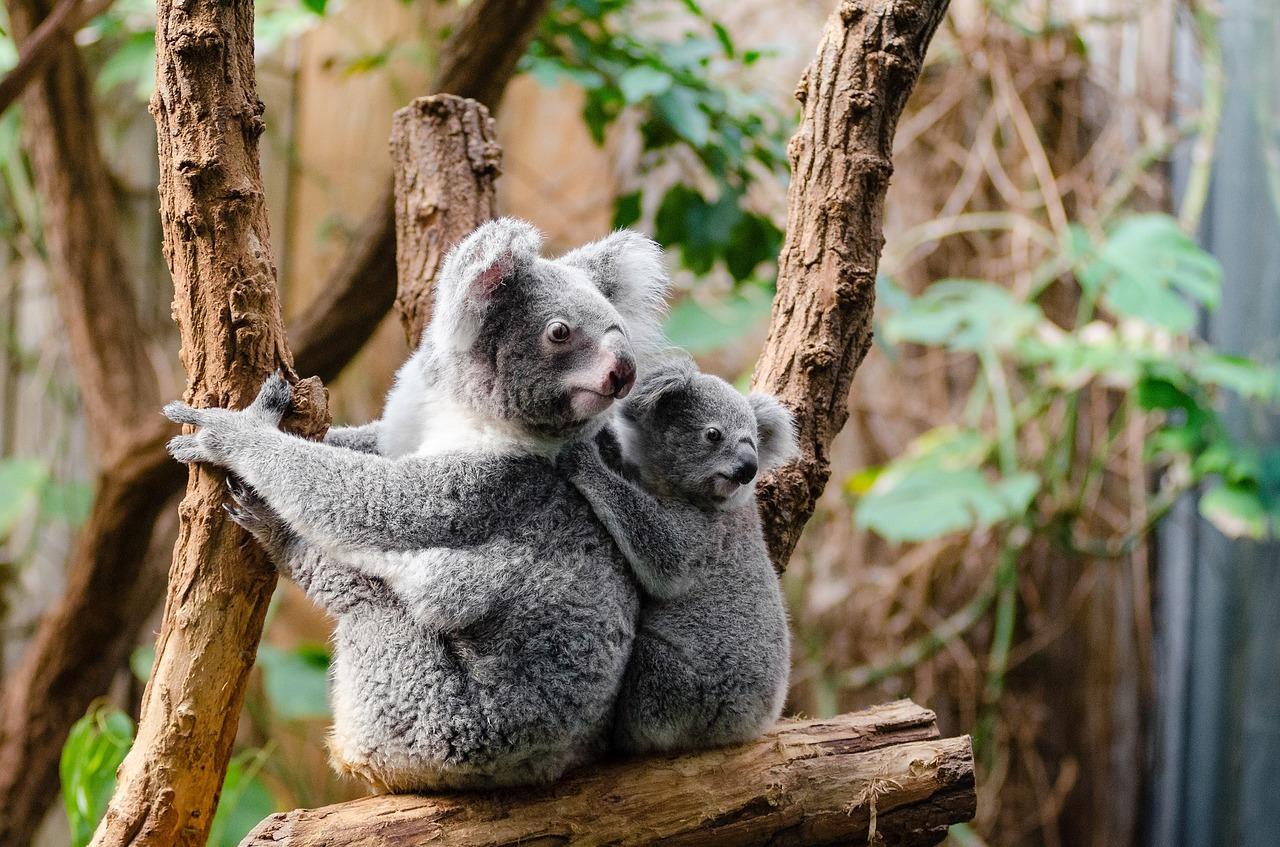 koala-1259681_1280.jpg