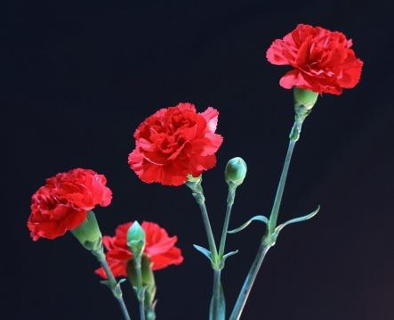 red-carnations-72691_960_720.jpg
